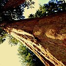 Redwoods by Emilie Baltimore