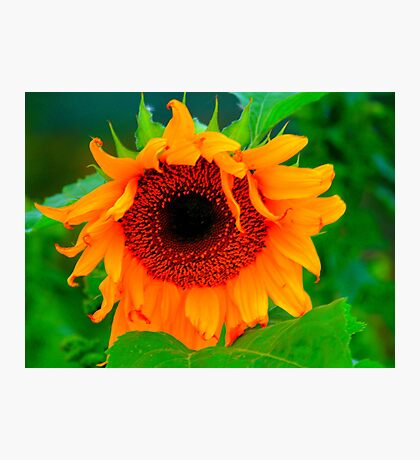 Black Hole in a Sunflower, Late Evening along the Teesdale Way Photographic Print