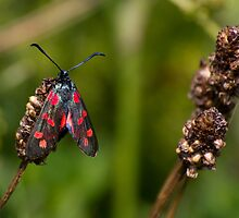 six-spot burnet moth by stay-focussed