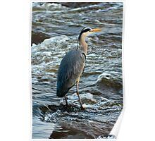 Animal, Bird, Grey Heron, Ardea cinerea Poster