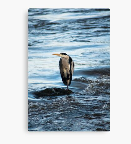Animal, Bird, Grey Heron, Ardea cinerea Canvas Print