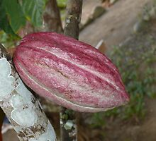 The cocoa tree, Baracoa, Cuba by krista121