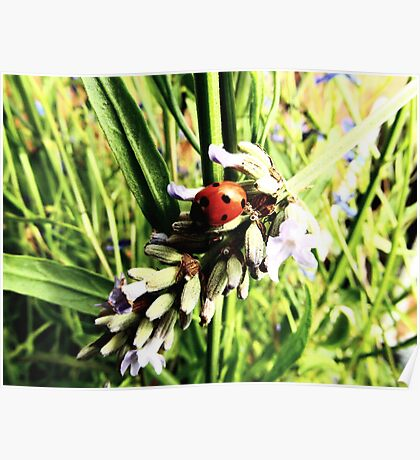 Oh! To be a ladybird... Poster
