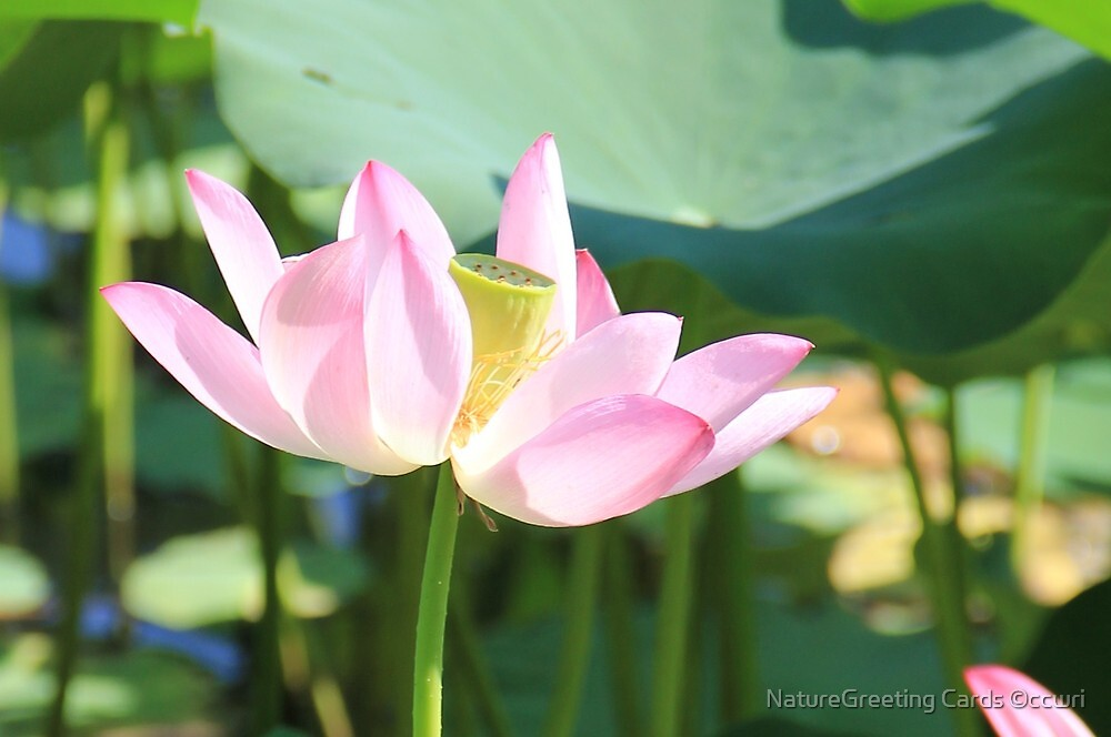 Soft, and Pink by NatureGreeting Cards ©ccwri