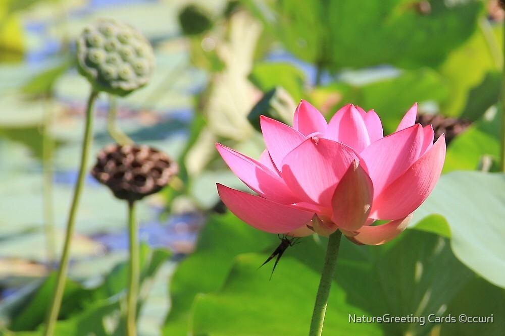 Lotus by NatureGreeting Cards ©ccwri