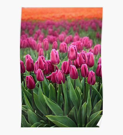 Tulip Cornucopia Poster
