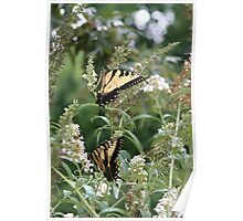 Two by Two - Eastern Tiger Swallowtails Poster
