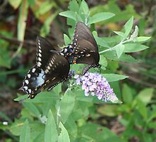 Two by Two - Spicebush Swallowtail by WalnutHill