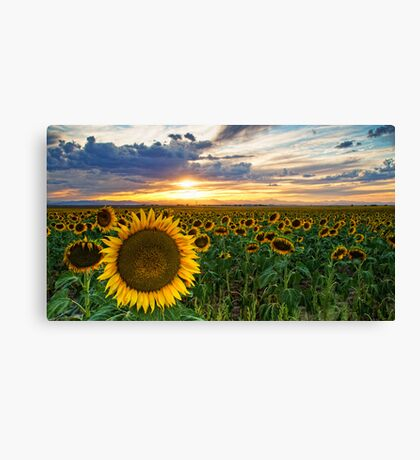 Sunflowers Of Golden Hour Canvas Print