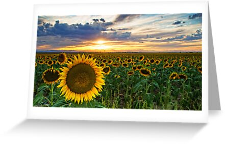 Sunflowers Of Golden Hour by John  De Bord Photography