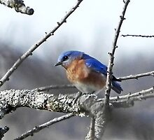 Blue Bird on a Cold Day by bannercgtl10