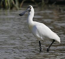 Royal Spoonbill #2, South Australia by Carole-Anne