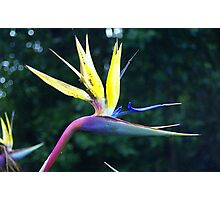Bird of Paradise, Capetown  Photographic Print