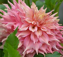 Dazzling Dahlia in Pink... by Carol Clifford