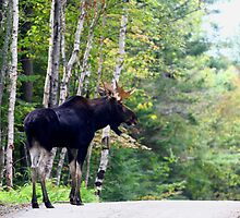 Maine bull Moose by the birches by Enola-Gay Wagner