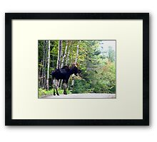 Maine bull Moose by the birches Framed Print