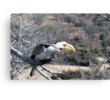 Close up of Yellow beaked hornbill in South Africa Canvas Print