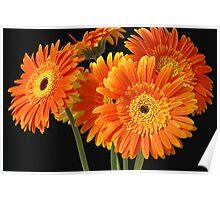 Dipped in Gold – Orange Gerberas Poster