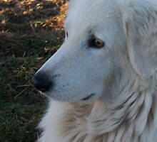 Maremma Looking by ariete