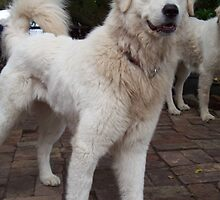 Maremma Looking very smart by ariete