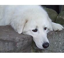 Maremma Resting on the Rocks Photographic Print