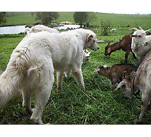 Maremma With Goats Photographic Print