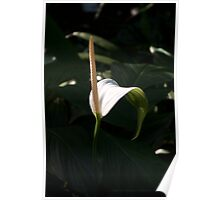 Touched by Light ~ White Flowering Lily Poster