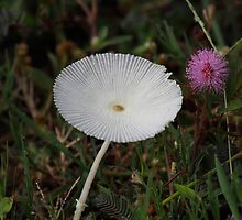 Parasola sp (mushroom) and Mimosa pudica (touch me not flower) by Prashant Jois