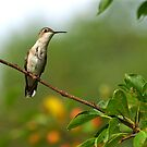 Female Ruby Throated Humming Bird Perched by Molly  Kinsey