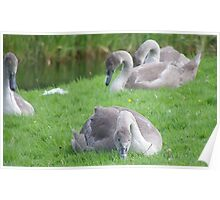 Bunch of Cygnets Poster