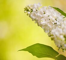 Lilac white flowers bloom by Arletta Cwalina