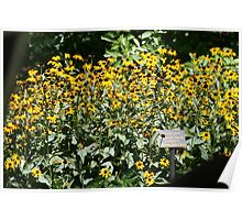 Yellow Coneflowers Poster
