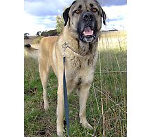 Beautiful Anatolian Shepherd Photographic Print