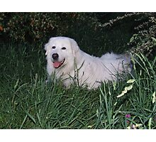 Beautiful Maremma Girl Photographic Print
