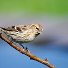 Lesser Redpoll (female) by M.S. Photography/Art
