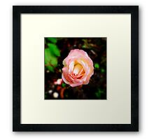 A Soft Peace Rose Framed Print