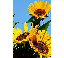 Garden Sunflowers Photographic Print