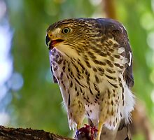 Juvenile Cooper's Hawk by CrowningGlory