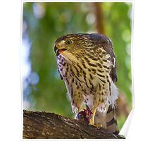 Juvenile Cooper's Hawk Poster
