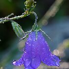 Dewy Bluebell Blossom by CrowningGlory