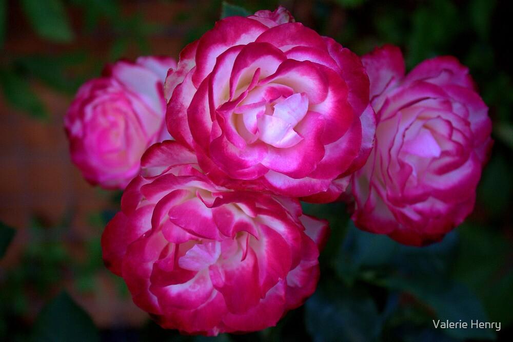 My rose bush by Valerie Henry