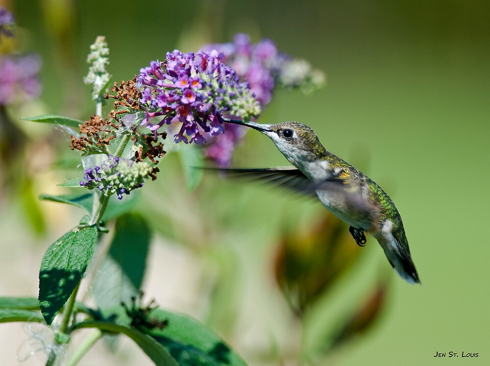 Hungry hummer - hummingbird at butterfly bush 1 by Jen St. Louis