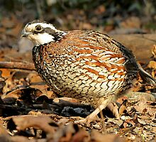 I'm A Male Quail! by Jean Gregory  Evans