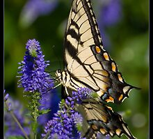 Tiger Swallowtail by Victoria Jostes