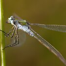 """How do I look?"" said the Emerald Damselfly  by Jon Lees"