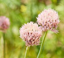 Pink chives flowering plant by Arletta Cwalina