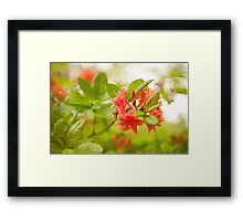 Rhododendron or Azalea Il Tasso flowers Framed Print