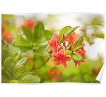 Rhododendron or Azalea Il Tasso flowers Poster