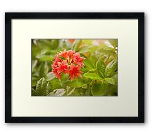Il Tasso Rhododendron called Azalea Framed Print