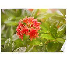 Il Tasso Rhododendron called Azalea Poster
